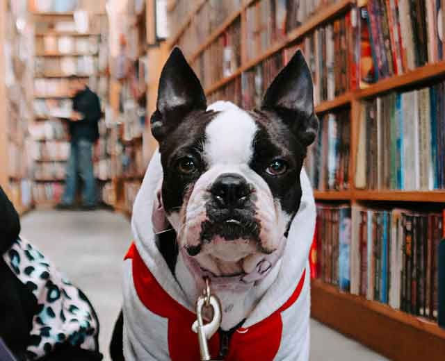 Boston terrier looking serious in a library